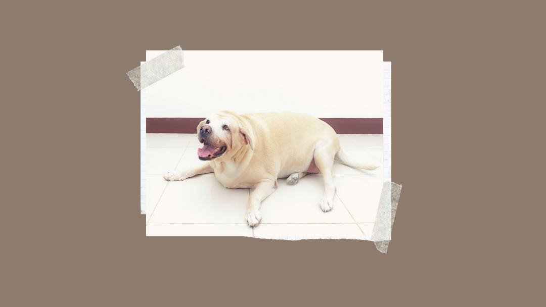 Nadprogramowe kilogramy u psa i kota