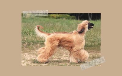 Starożytne rasy psów